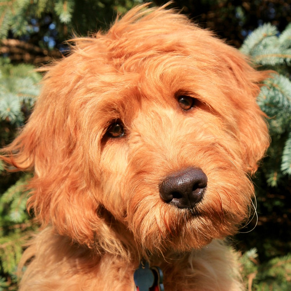 Margo the Goldendoodle