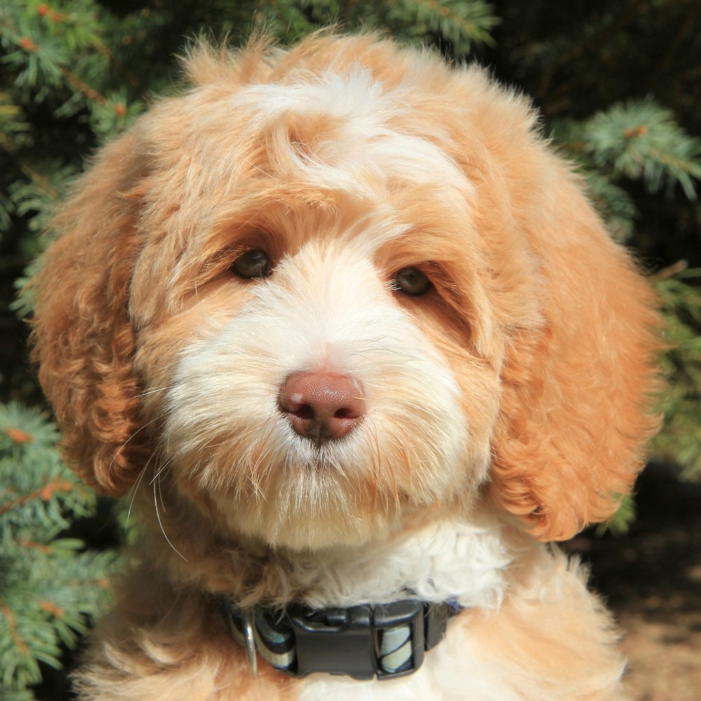 Louie the Goldendoodle