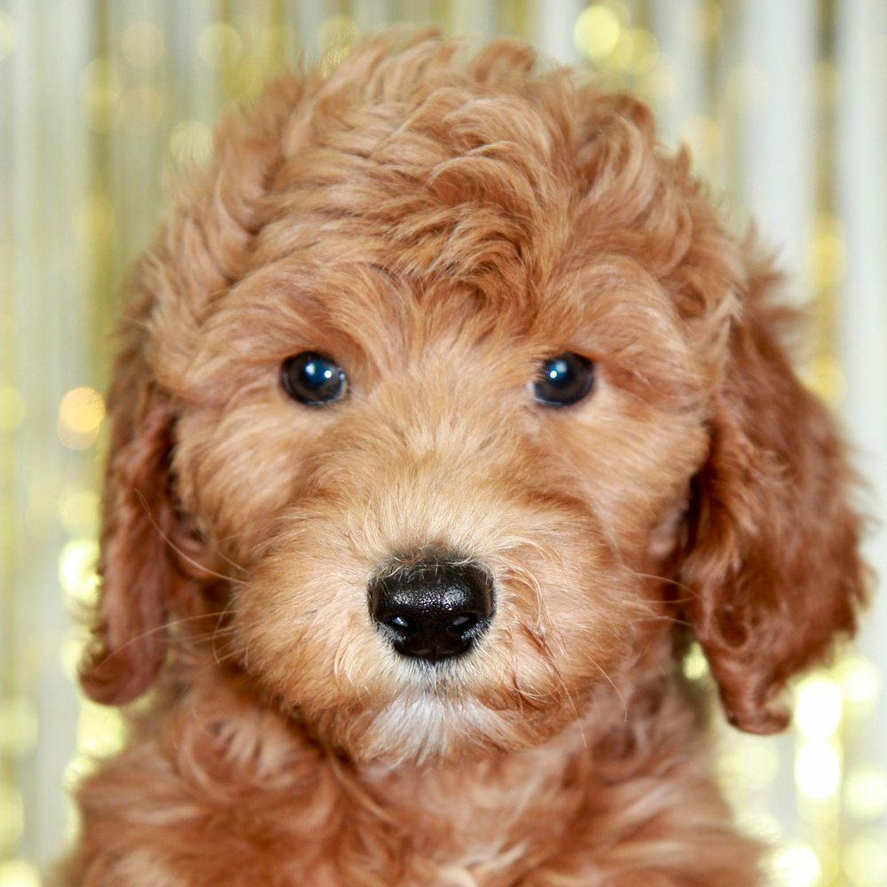 Tess the Goldendoodle