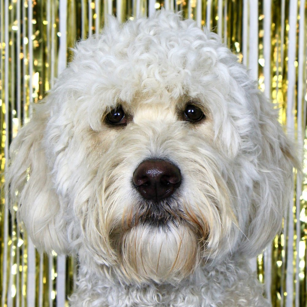 Cubby the Goldendoodle