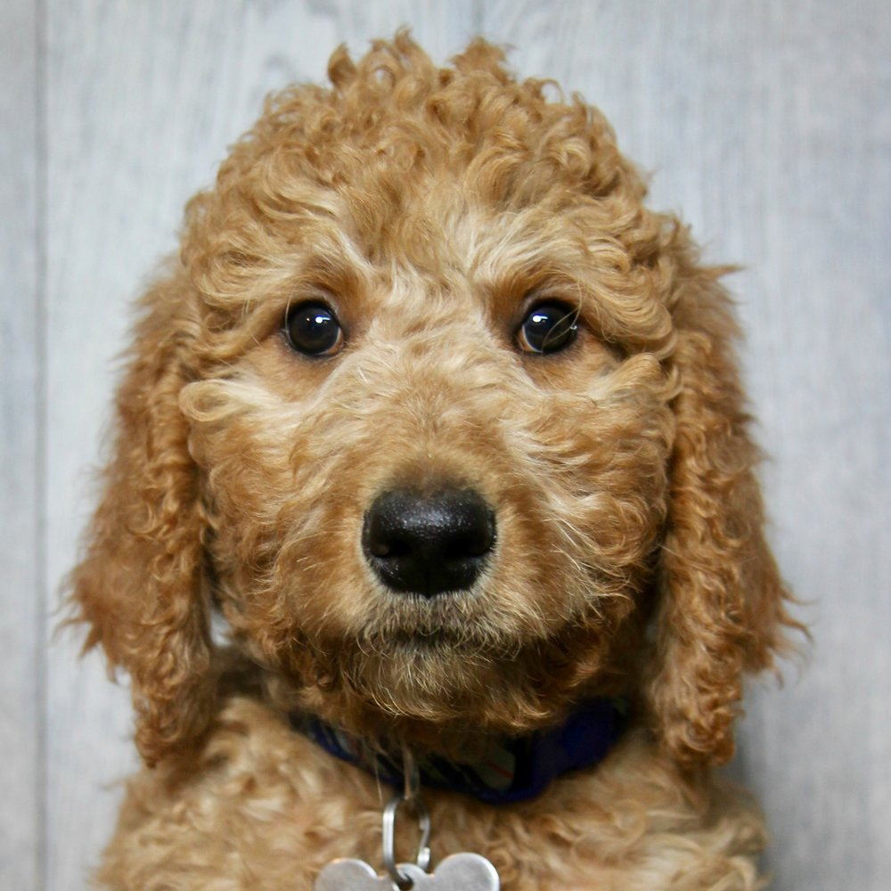 Porter the Goldendoodle