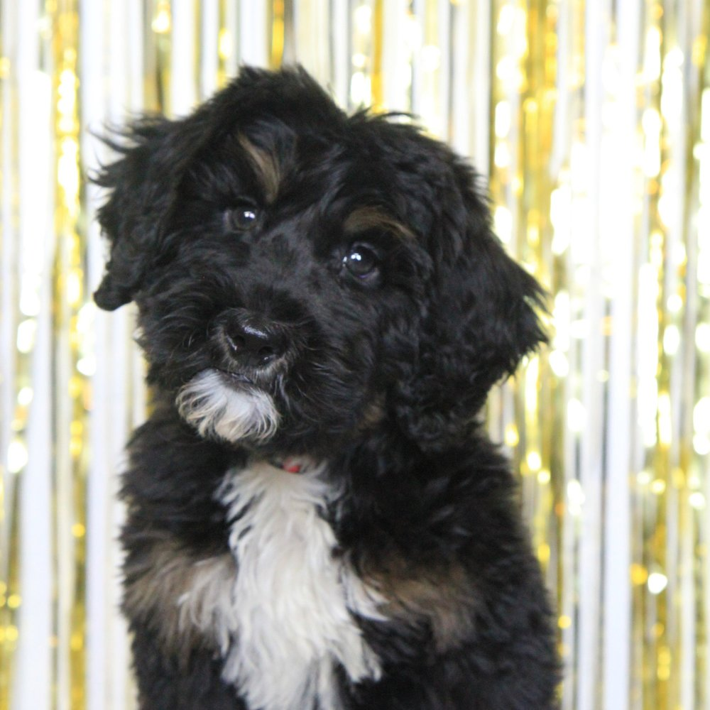 Logan the Bernedoodle