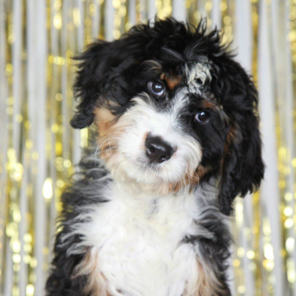 Plymouth the Bernedoodle