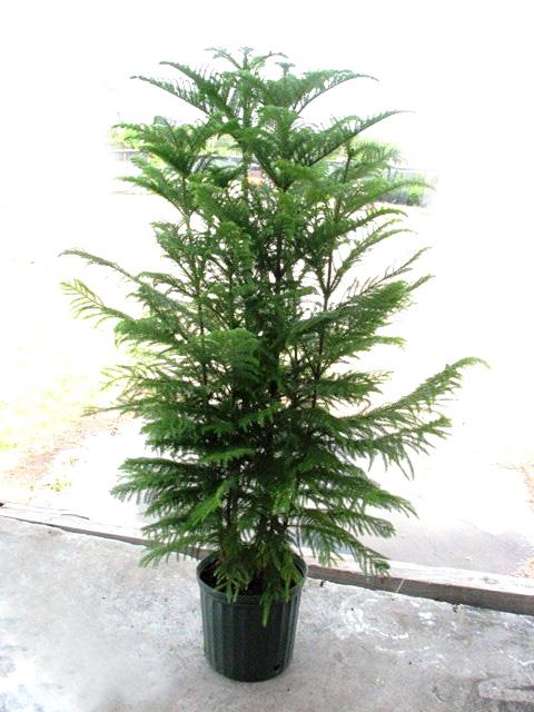 Norfolk Pine Christmas Tree Preorder - Norfolk Pine Christmas Tree Preorder €� F L O R A