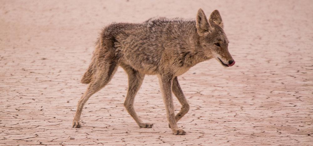 coyote-desert.jpg