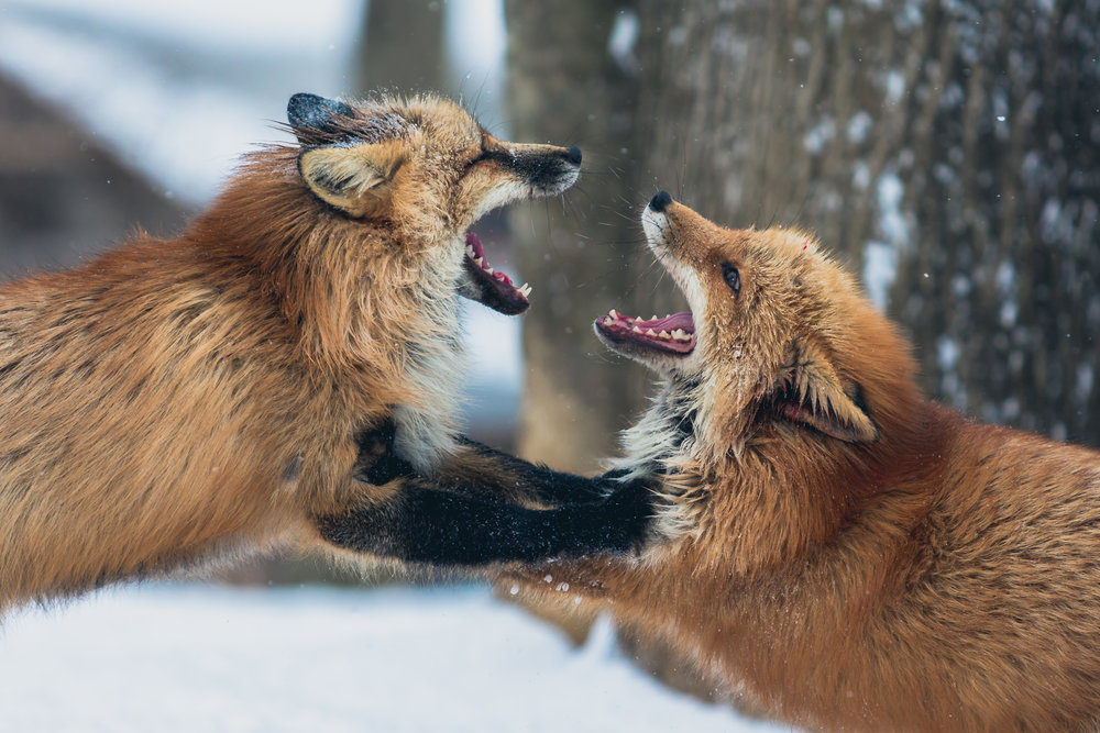 foxes-fighting-argument-persecution-article.png