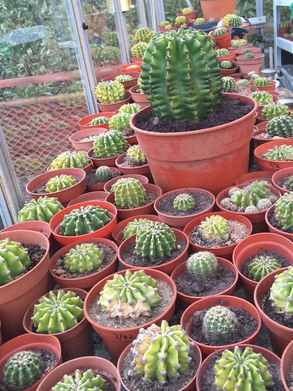 Day Of The Cacti in Greenhouse Summer 2016