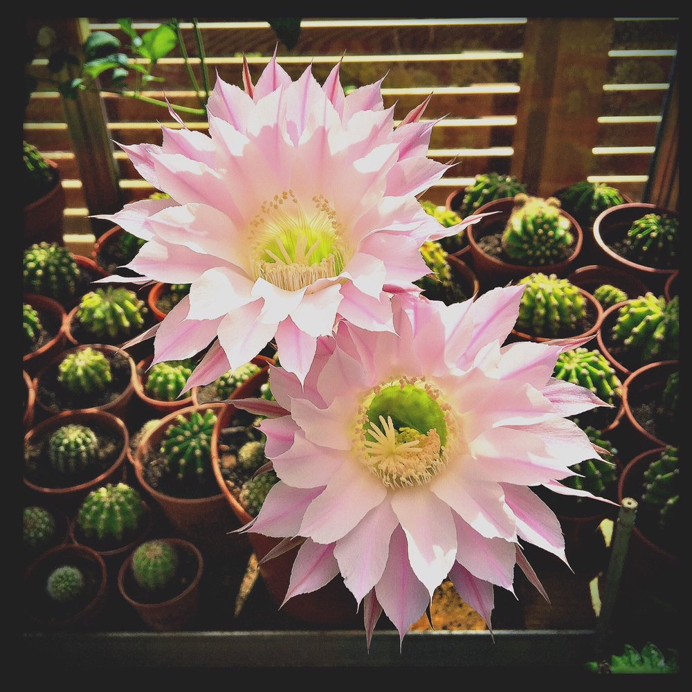 Double Flower of Echinopsis Multiplex