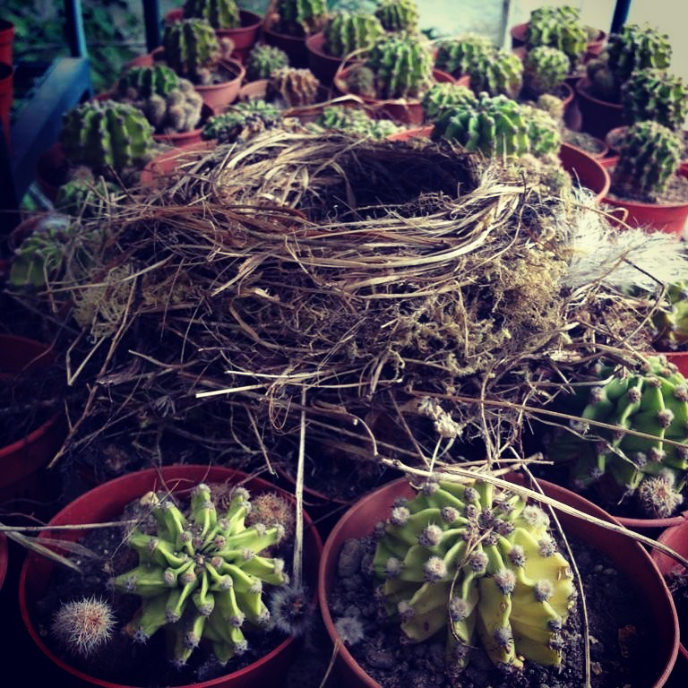Bird's nest in Cactus Greenhouse