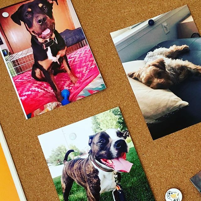 Our workspace has never been cuter with these photos of our #furbabies ... #rottweilersofinstagram #pitbullsofinstagram #yorkiesofinstagram #localmadison #websitedesign #graphicdesign