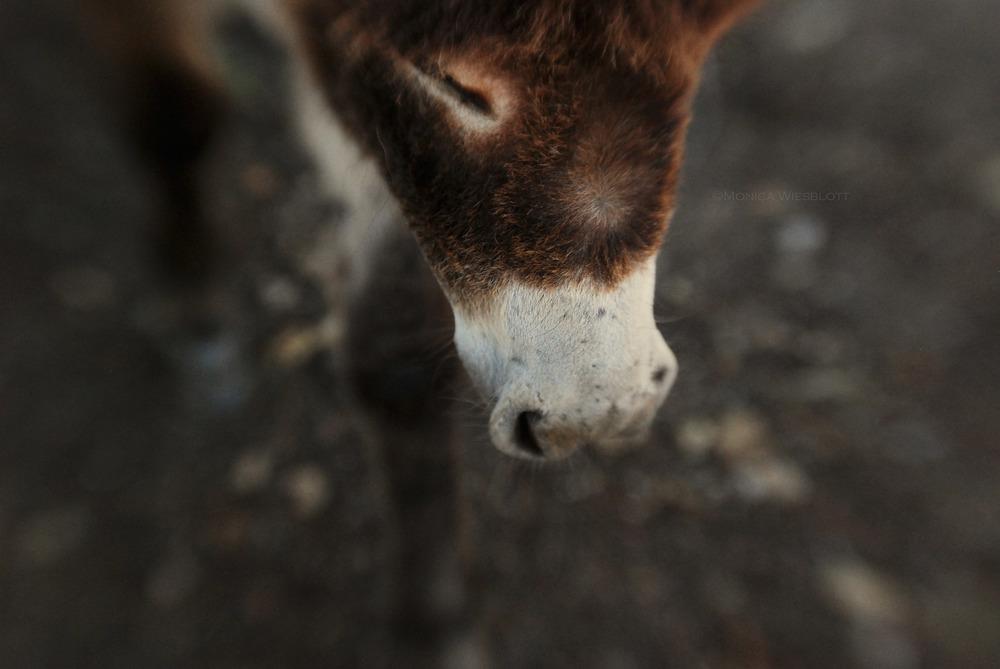 Donkey-velvet nose