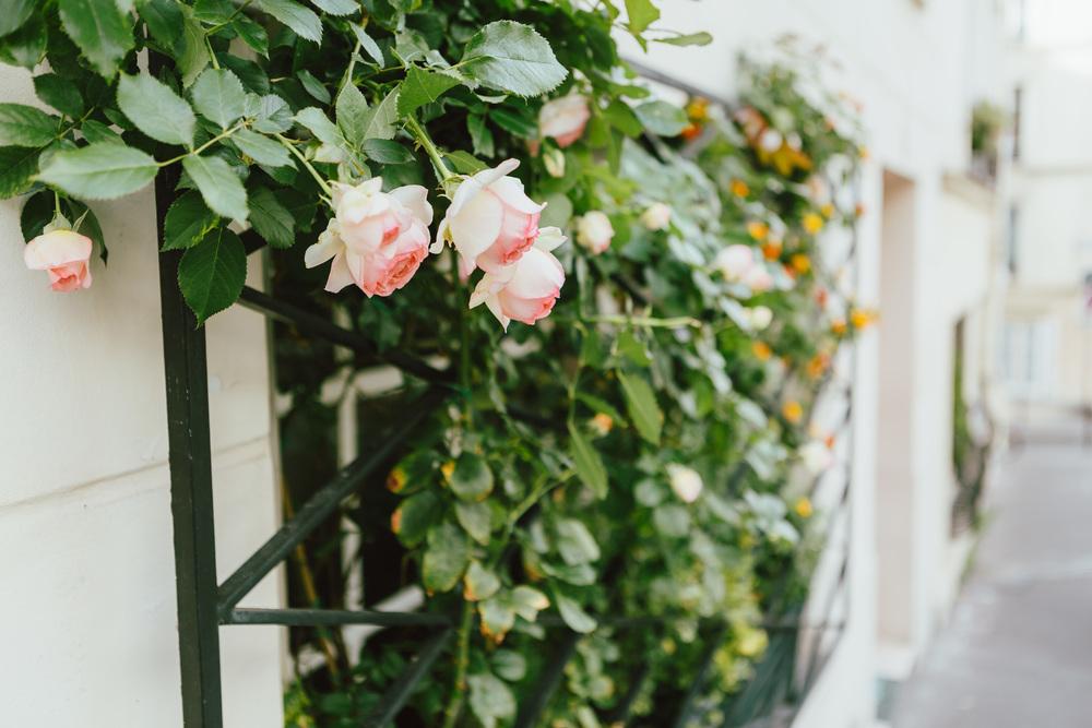 Paris Photographer, Montmartre, France, roses, iheartparisfr