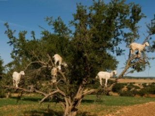 Goats standing in an Argan tree
