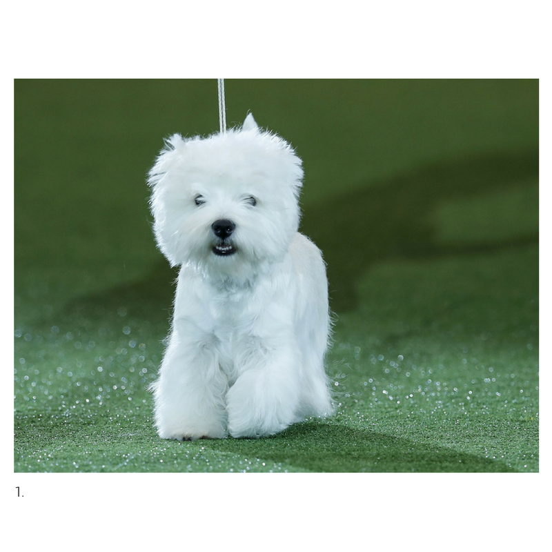 West Highland Terrier Devon aka 'Geordie Girl' Cruft's Best in Show 2016, Reuters.
