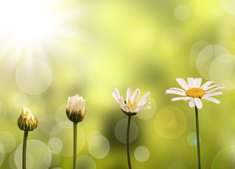 Daisies Blooming