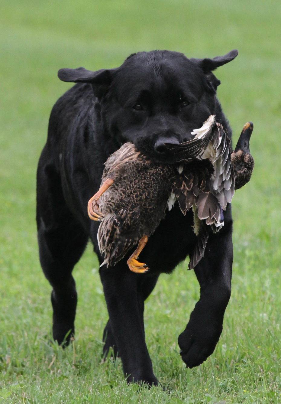 vito with duck up close 2013.jpg