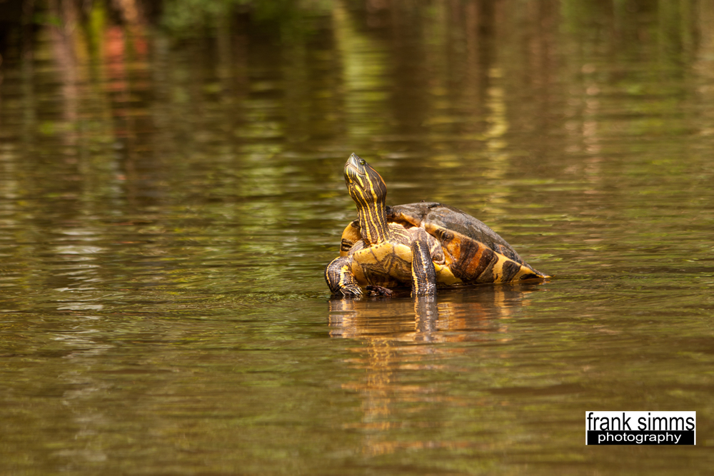 Common slider turtle.