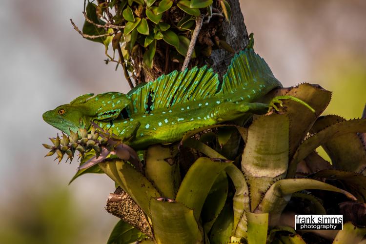 Basilisko esmeralda macho.