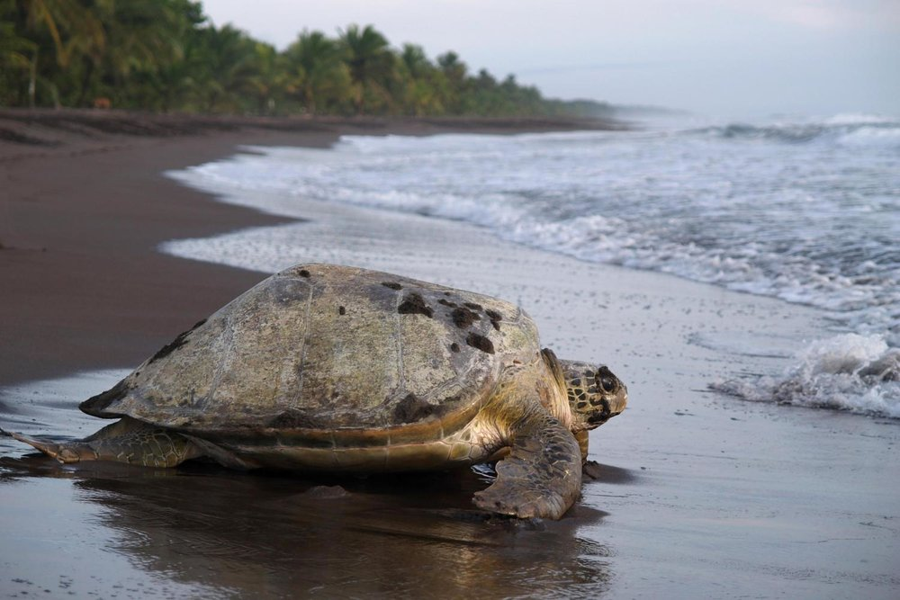 turtle-in-tortuguero-gray-line-site.jpg