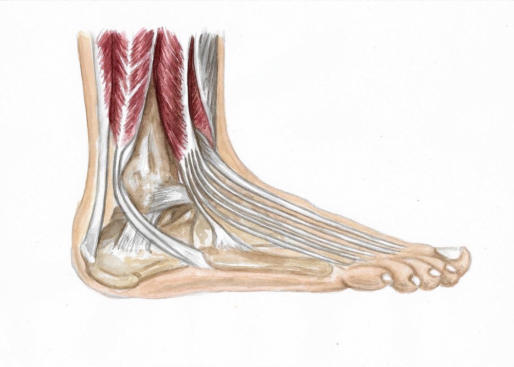 "Medical illustration of ankle joint. Watercolor and pencil on Canson mixed media paper. 10x7.""  2018."
