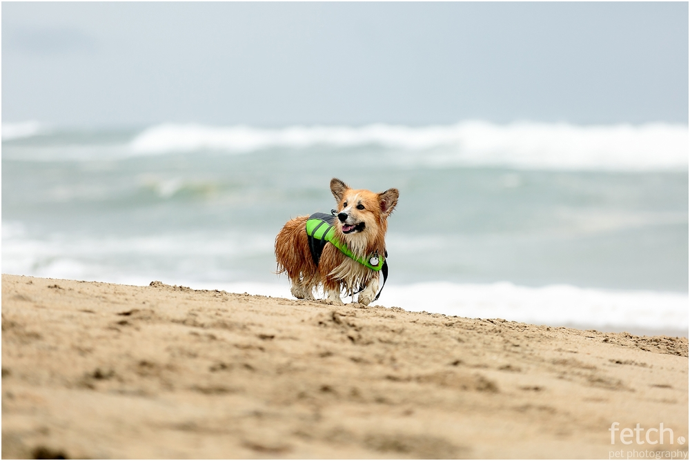 corgi-in-life-vest-on-beach