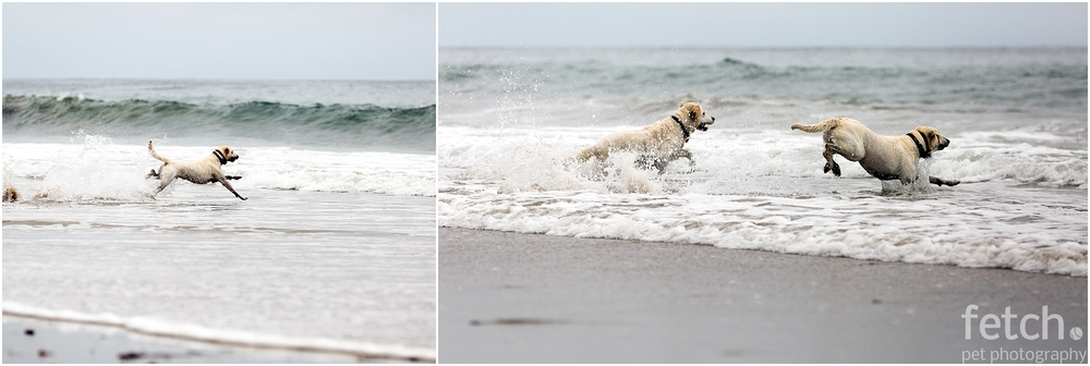 white-lab-chases-ball-in-ocean