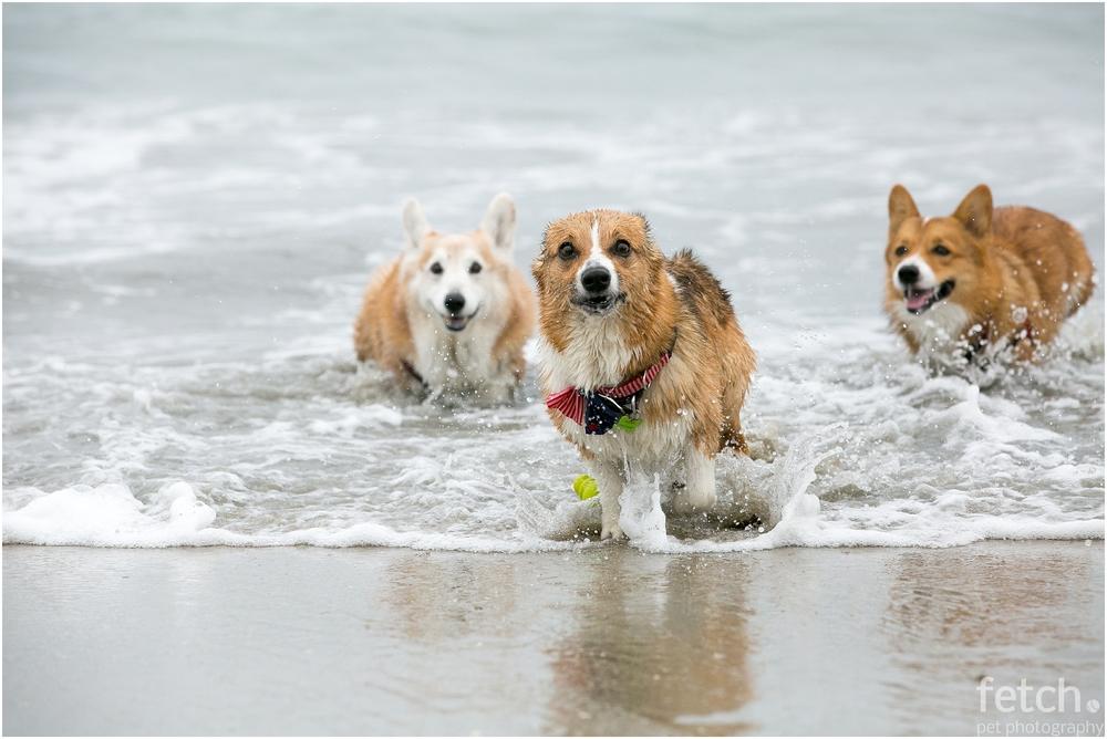 corgi-beach-day-party