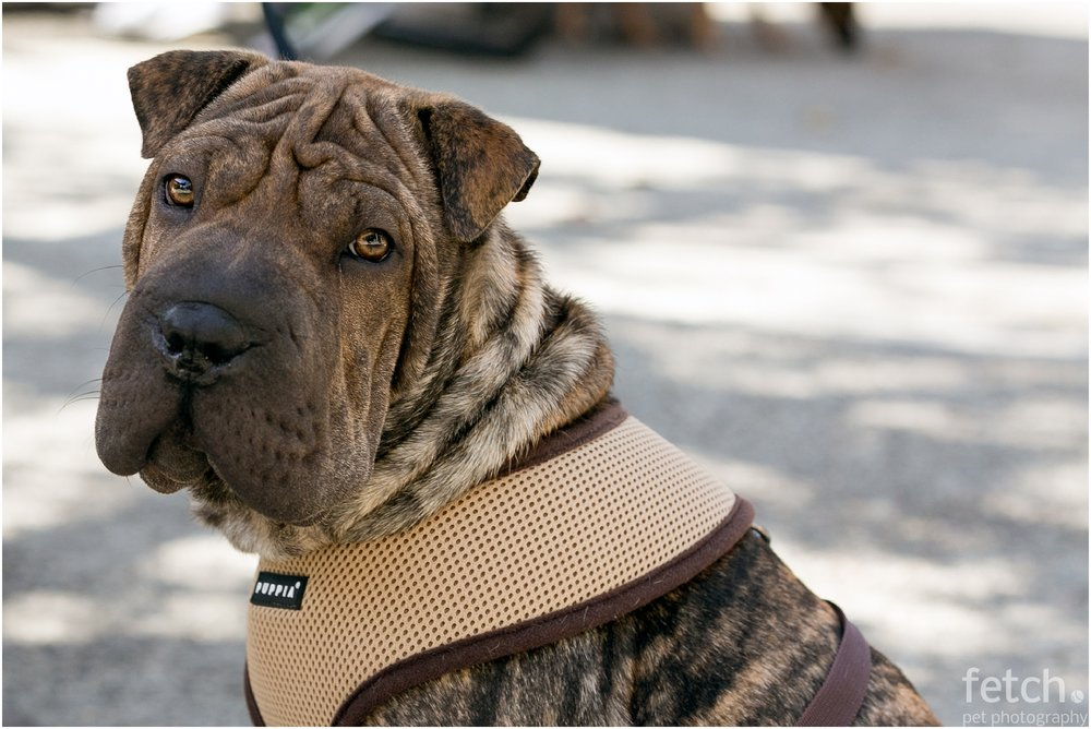 shar-pei-puppy-photo