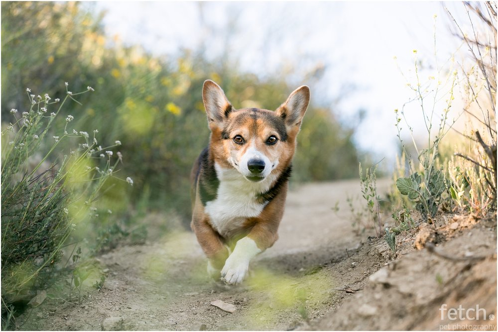 corgi-runs-down-hill
