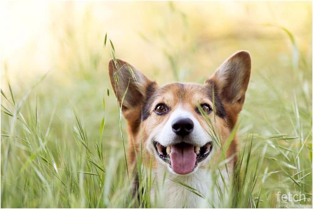 smiling-corgi-tall-grass