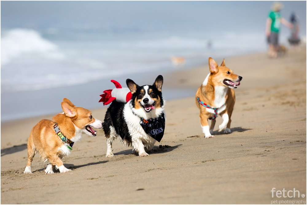 corgi-beach-day-los-angeles