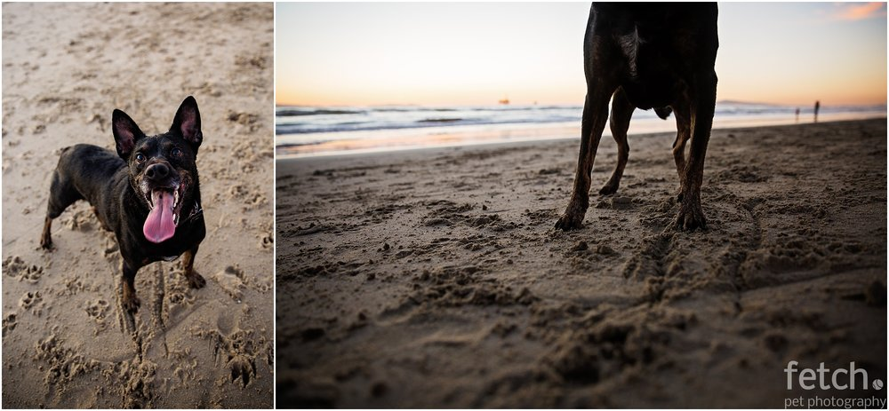 australian-kelpie-sandy-paws