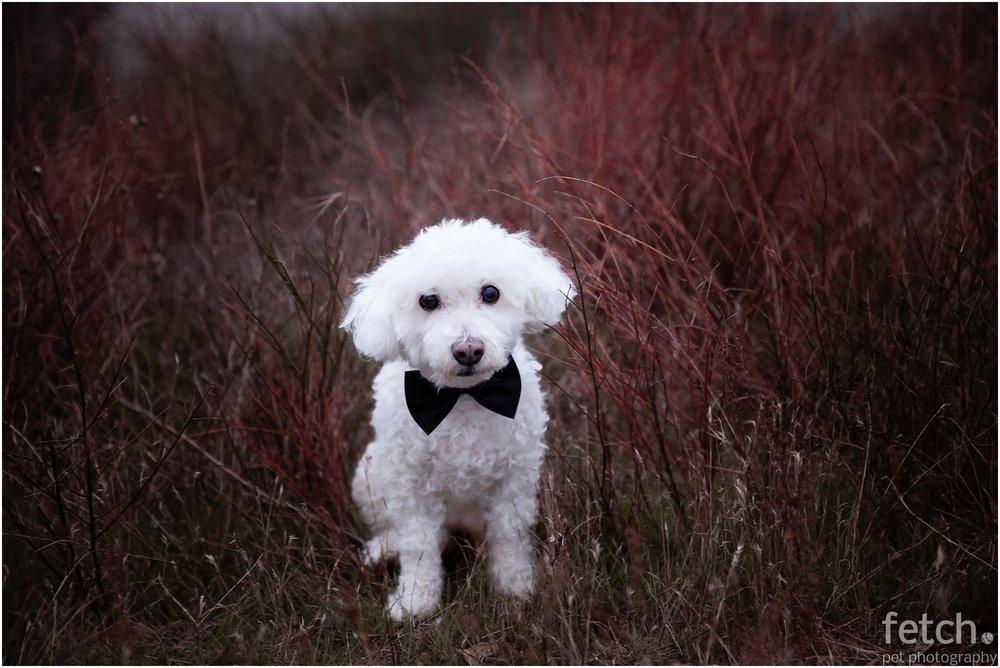bichon-frise-bow-tie