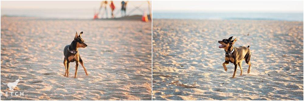 miniature-pinscher-beach