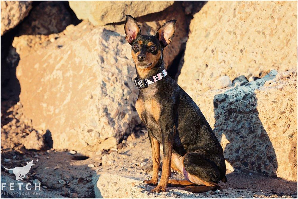 min-pin-dog-portraits