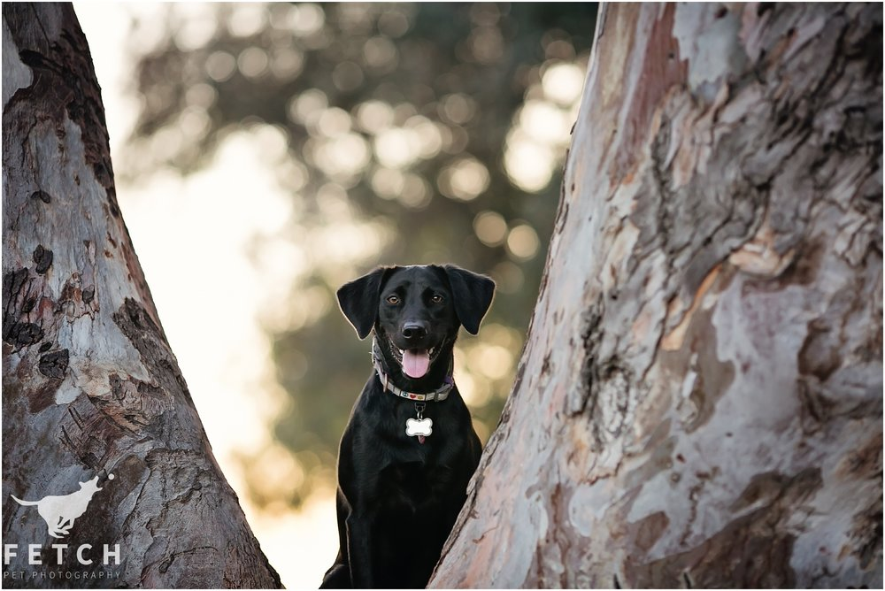 labrador-retriever-black