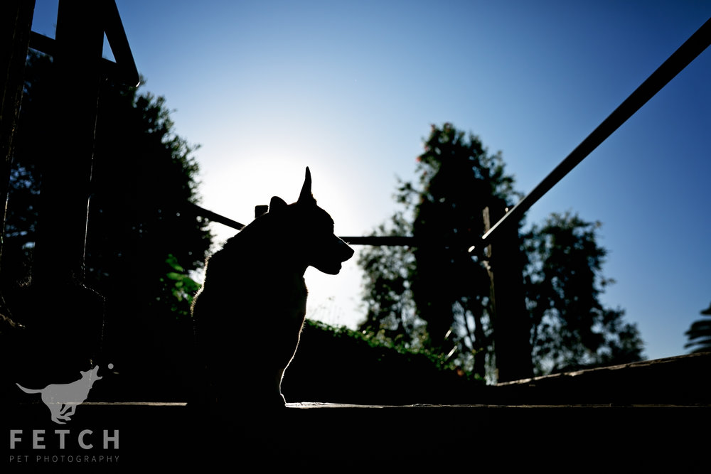 pet-photography-dog-silhouette