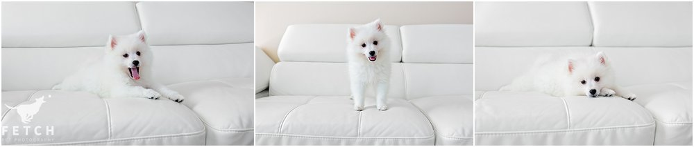 american-eskimo-dog-puppy