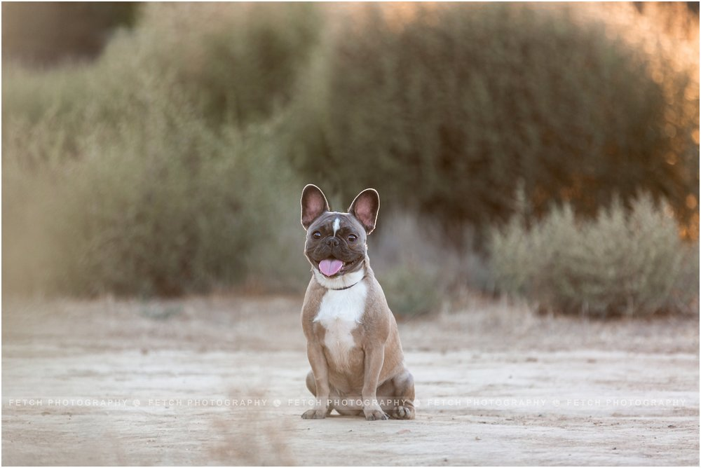 los-angeles-frenchie-photos
