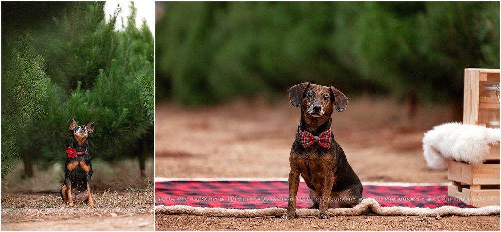 holiday-dachshund-photos