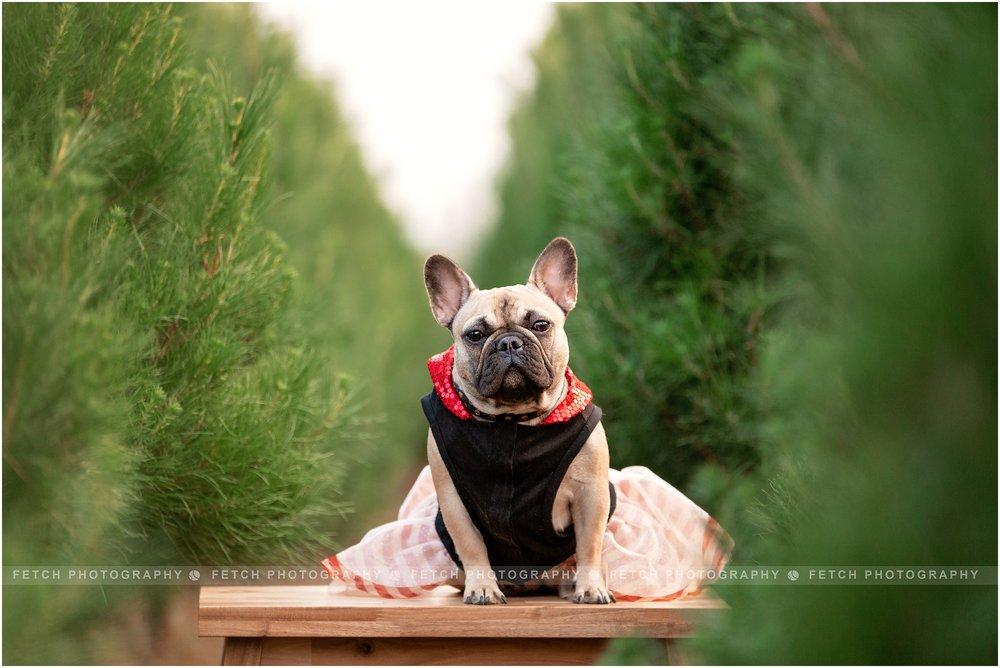 french-bulldog-holidays
