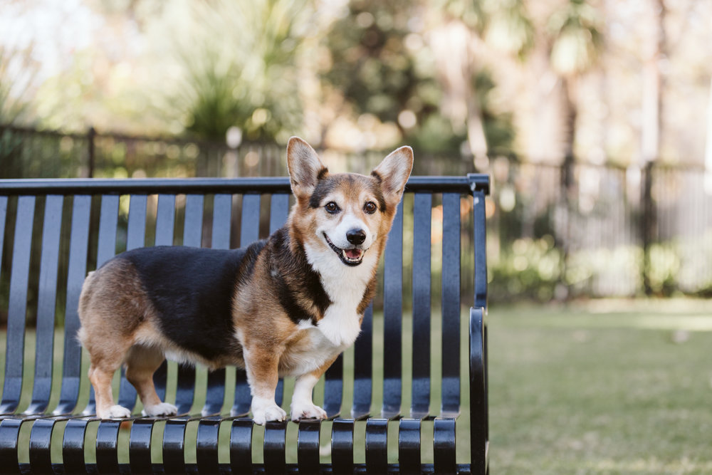 Maurice,  11 year old Pembroke Welsh Corgi - model extraordinaire