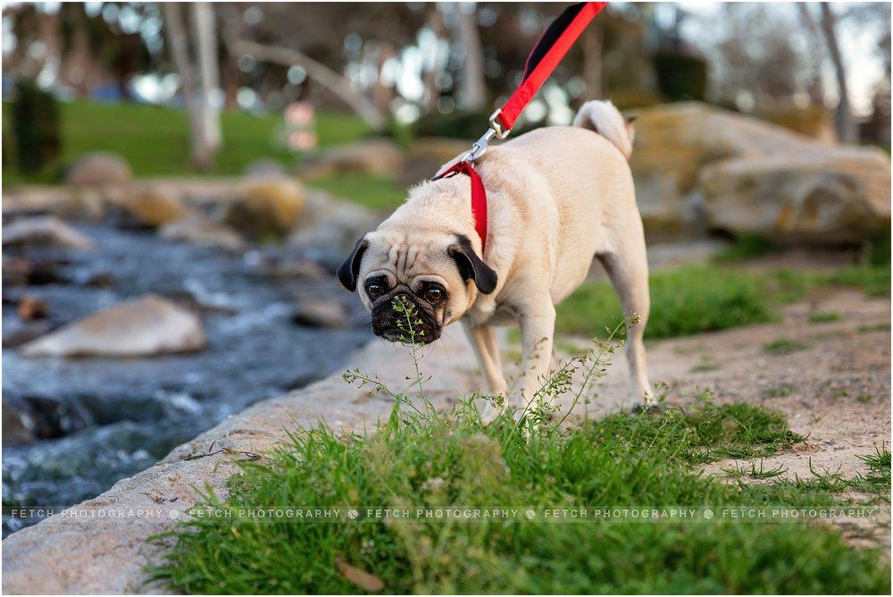 pug-dog-photos