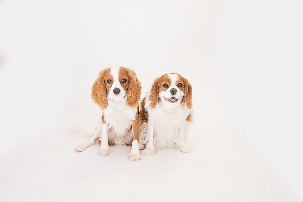 king cavalier puppy and older dog st simons island ga