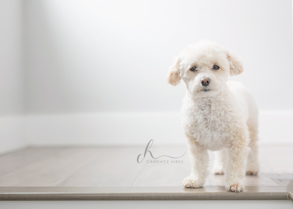 white poodle puppy in st simons island home session