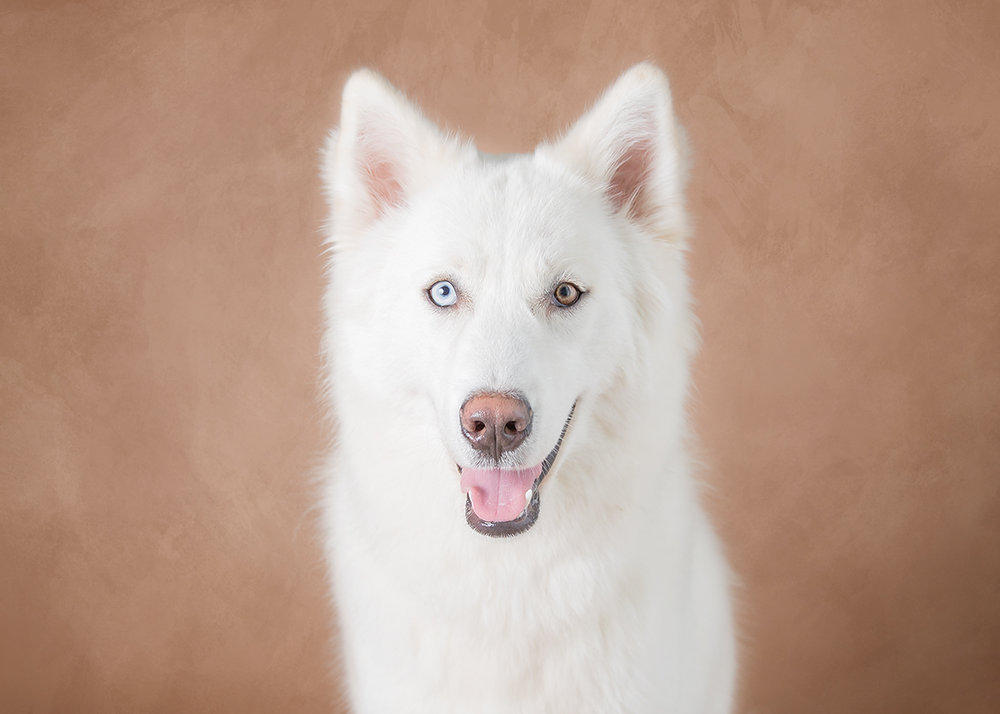 white husky with blue and brown eye on a tan background