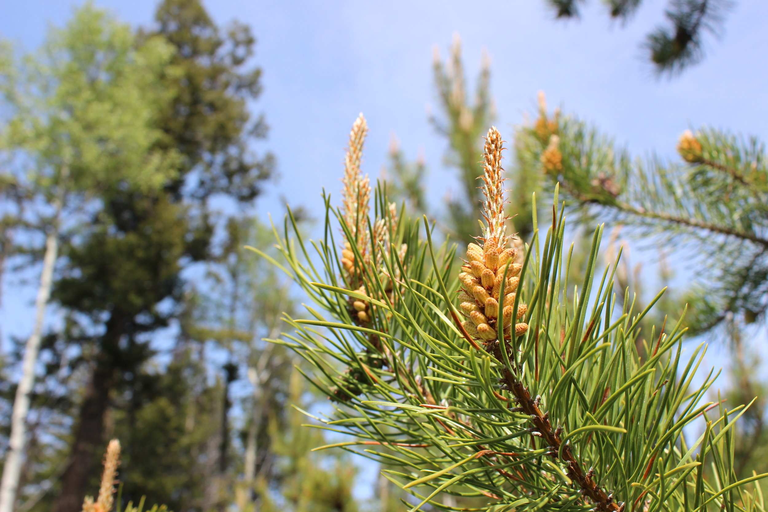Canadian Pine Pollen — Blog