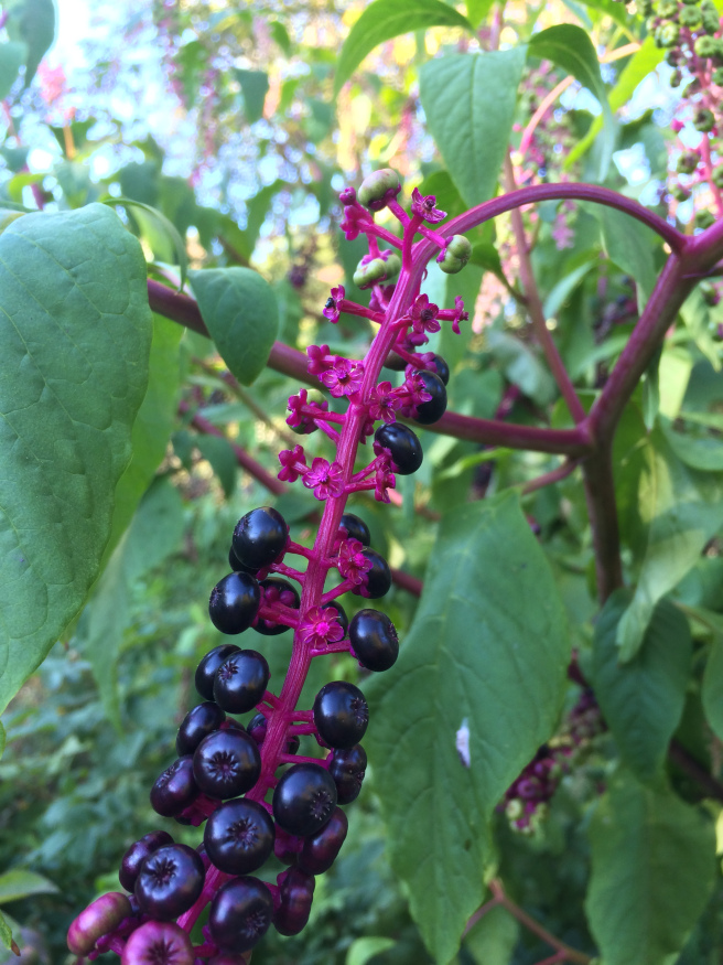 poke berries. from the most beautiful garden in Maine
