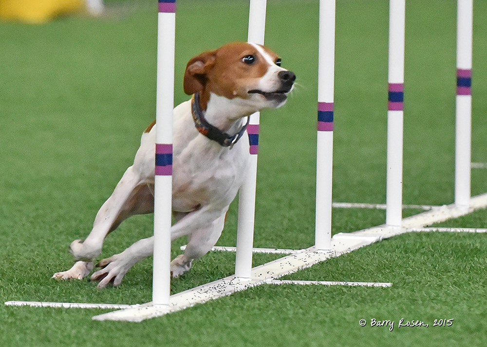 Remus, a very fast and very athletic Rat Terrier, is Deb's current competition agility dog