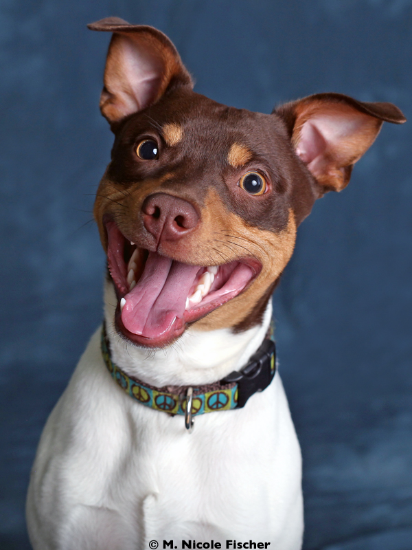 Ferris is a young Rat Terrier with a happy-go-lucky and enthusiast outlook on life